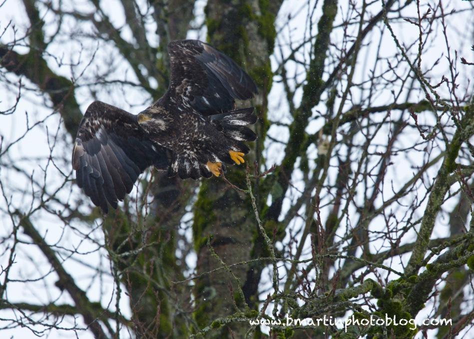 Maturing Bald Eagle