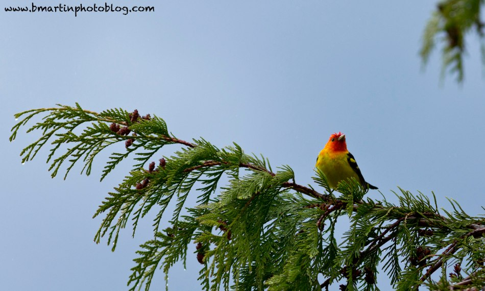 Soggy Western Tanager