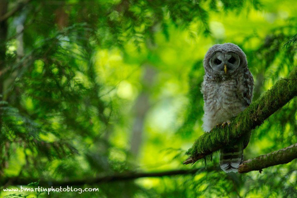 Juvenile Barred Owl