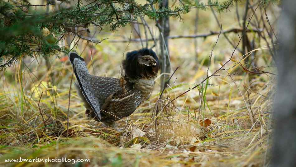 Male Ruffed Grouse